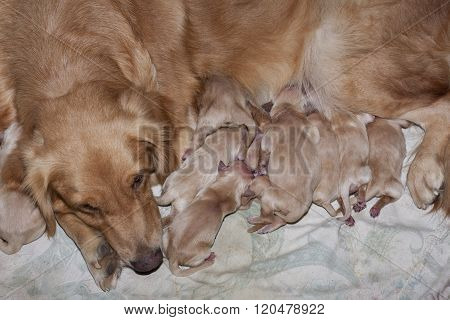 New Born Of Golden Retriever Puppies First Day Lying With Mom