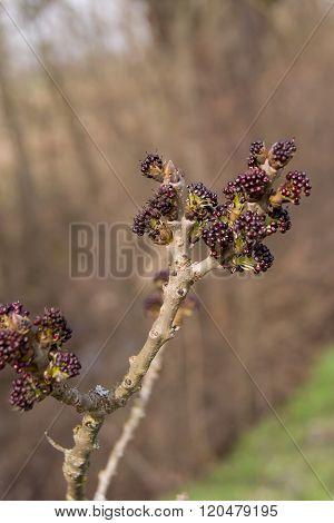 The ash (Fraxinus excelsior)