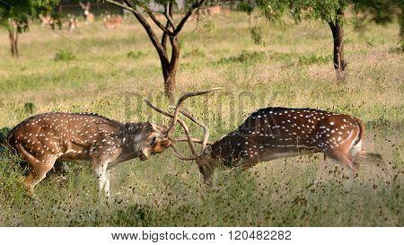 Axis Bucks Fighting