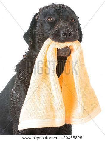 dirty dog holding towel waiting for a bath