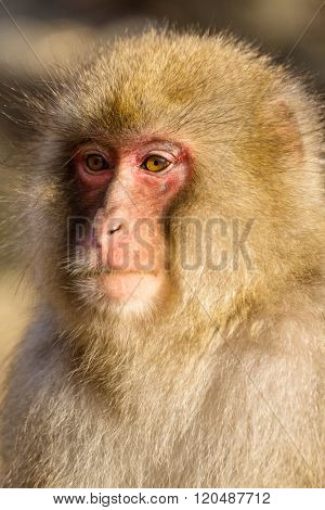 Wild monkey close up