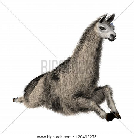 Llama Or Lama On White