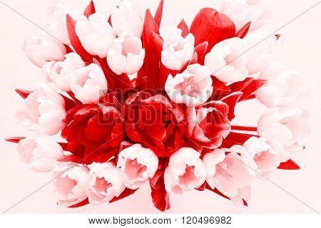 Isolated Bouquet Flowers From Tulips Of Scarlet Tone