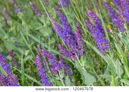 Sage in spring field among wild herbs