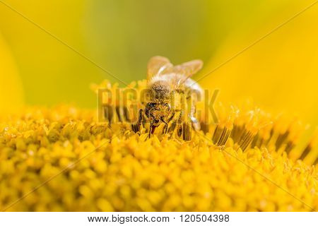 Honey Bee Pollinating Blossom Of Yellow Sunflower In Summertime