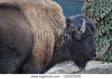 American Bison Mammal Animal