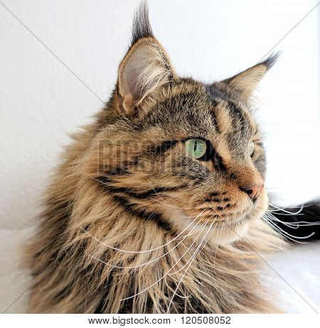 Maine Coon cat brown tabby