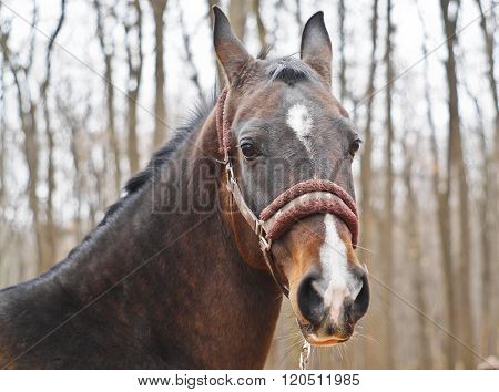 brown horse with a white blaze on his head standing against the background autumn trees