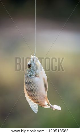 Nile Tilapia Fish Hanging On Hook