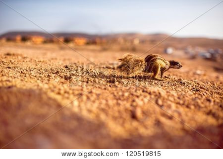 Moorish squirrel on Fuerteventura island