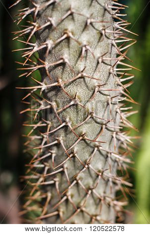 A large prickly cactus with thorns.