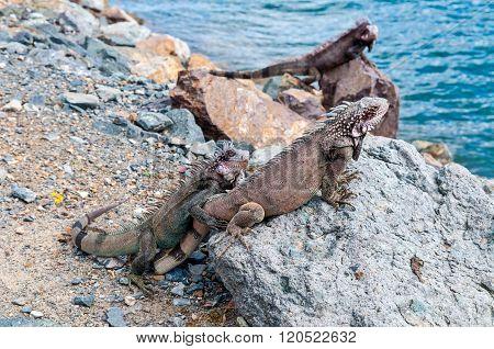 St. Thomas Iguanas