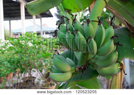 Raw Banana Is Still Not Fully Grown.