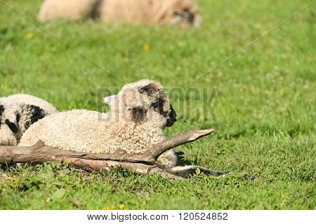 Cute Lambs Sleep Down In The Meadow After A Good Meal