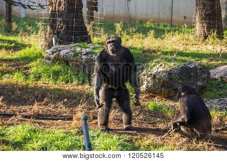 RAMAT GAN, ISRAEL: DECEMBER 26 2015: Chimpanzee leader in his cage in Ramat Gan's Zoo