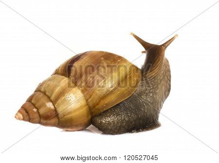 Garden Snail in front of white background