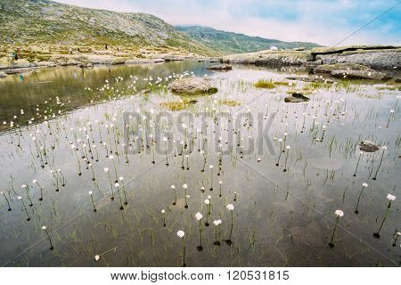 Mountains lake with cottongrass, cotton-grass or cottonsedge Eri