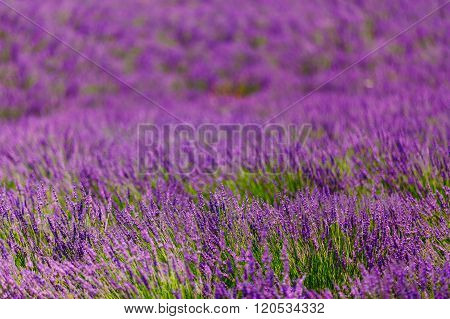 Abstract Blurred background of Blooming Purple Lavender Flowers