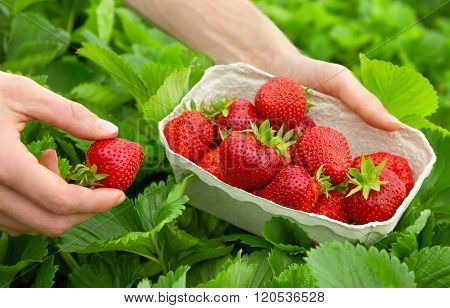 Harvesting perfect strawberries on a fresh green field