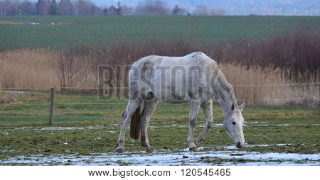 White Horse On Winter Pasture