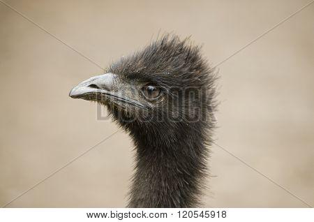 Australain Emu