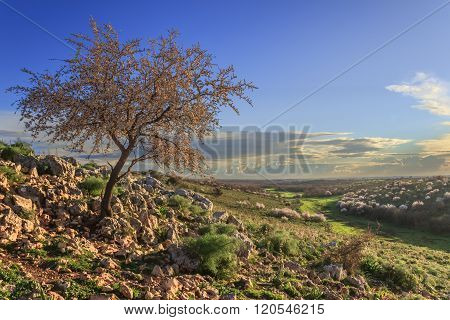 SPRINGTIME. Alta Murgia National Park: wild almond tree in bloom at dawn. Apulia-ITALY-It is a limes