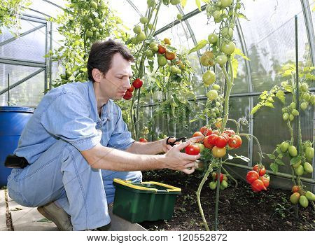 A Worker Harvests Of Red Ripe Tomatoes In A Greenhouse