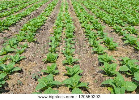 Row Of Tobbaco Plant