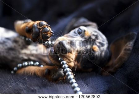 Marble Colored Puppy dachshund playing with beads