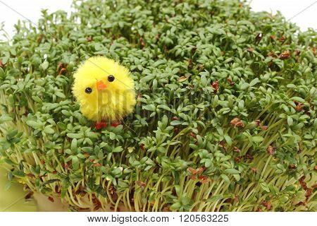 Easter Chicken Lying On Fresh Green Cuckooflower. White Background