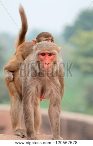 Rhesus macaque monkeys (Macaca mulatta) on the walls of the Agra Fort, India