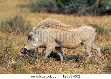 Warthog (Phacochoerus africanus) in natural habitat, South Africa