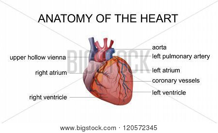 ILLUSTRATION of the human heart. cardiology. vectors