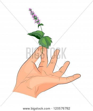illustration of mint leaves and inflorescences in the hand