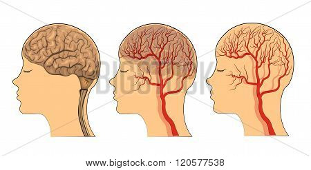 illustration of brain and blood vessels of the head. vector.
