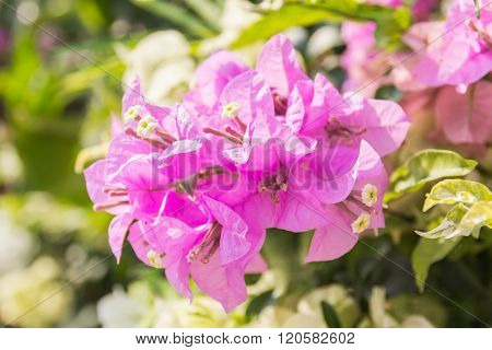 Beautiful Magenta Bougainvillea Flowers (bougainvillea Glabra Choisy), Soft Focus