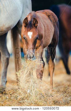 Foal eating hay near mare