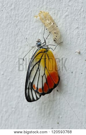 Painted Jezebel Emerged From Its Pupa