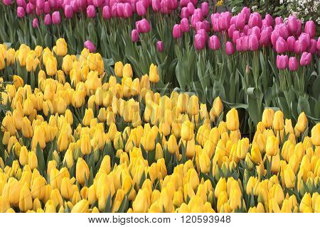 Tulip. Beautiful bouquet of tulips.