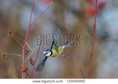 Flying Blue Tit In Snowball Bushes