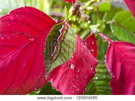 Red Poinsettia Leaf With Dew Drops