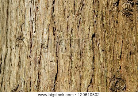 Background texture of tree bark. Skin the bark of a tree that traces cracking.