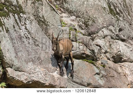 A lone ibex on a cliff in summer
