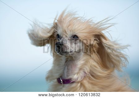 Chinese Crested Dog Outdoors In Nature