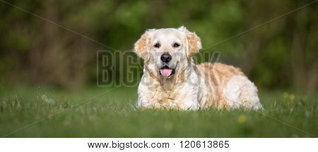 Golden Retriever Dog Outdoors In Nature