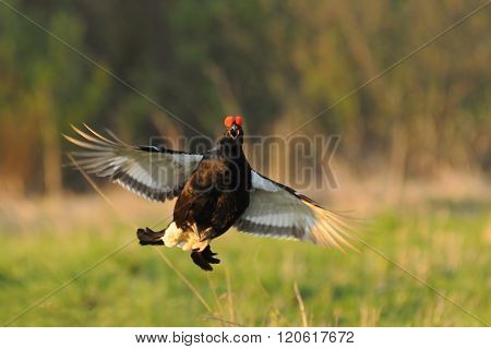 Mating Call Of Jumping Male Black Grouse