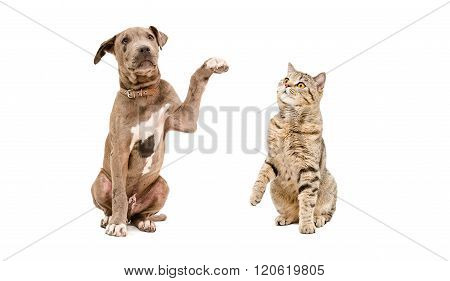 Funny puppy pit bull and cat