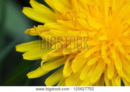 Blooming Dandelion On Green Meadow