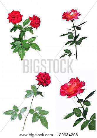 Scarlet And Red Rose Flowers