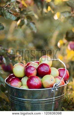 bucket full of ripe apples in sunset